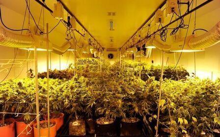 Выращивание марихуаны: наказание, ответственность
