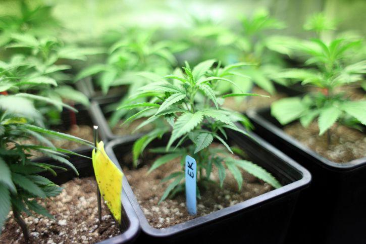 Как вырастить рассаду конопли польза конопли